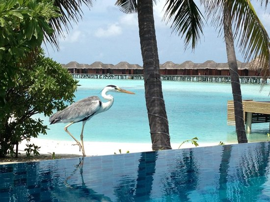 Anantara Veli Maldives Resort: local celeb