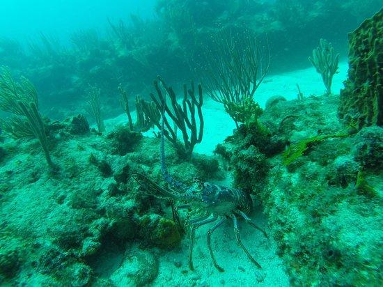 Carlisle Bay Antigua : Giant Lavendar Lobster!