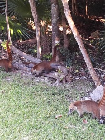 Valentin Imperial Riviera Maya: the Coatis our regular breakfast buddies