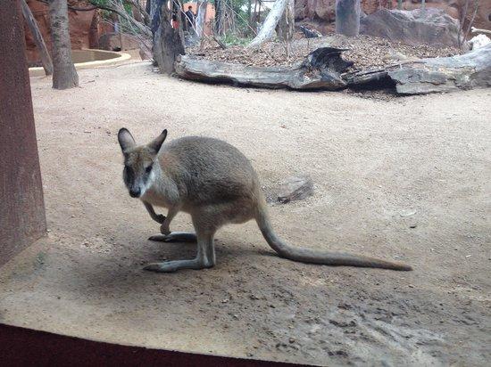 WILD LIFE Sydney Zoo : Kangaroo