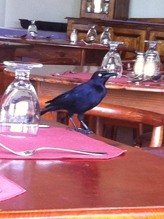 Coyaba Beach Resort : Annoying birds on the restaurant table, once stole my toast!