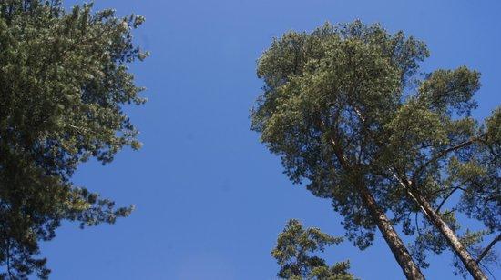 Dzintari Forest Park: сосны в парке