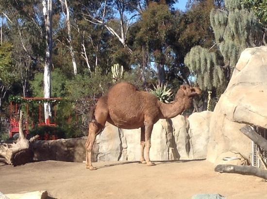 San Diego Zoo : camel