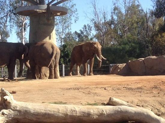 San Diego Zoo : elephants