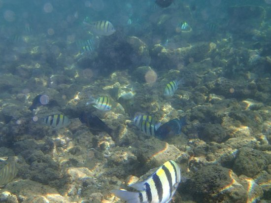 Poipu Beach Park: Underwater at Poipu Beach - mostly convict tang