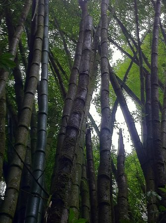 Bamboo in the rainforest during drive to Casa Grande Mountain Retreat