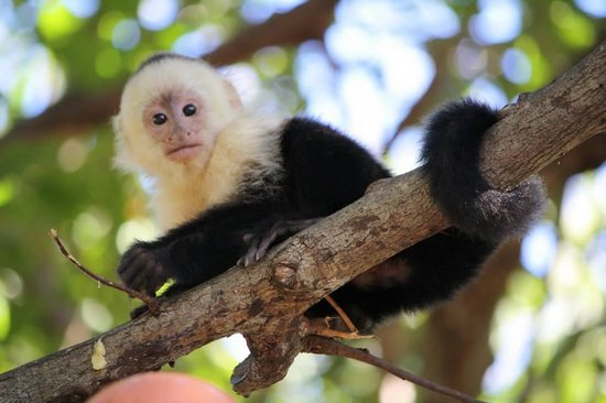 Allegro Papagayo: Whitefaced Monkeys are all over the beach