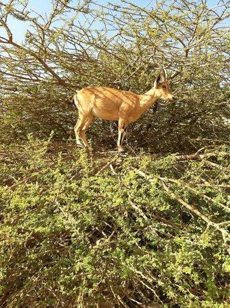 Ein Gedi - Beit Sarah Guest House: ibex female in tree