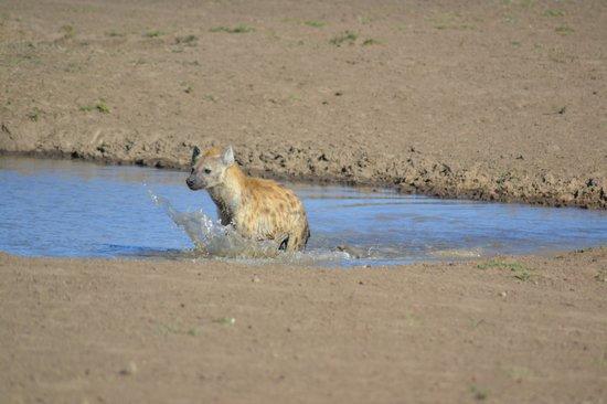 Governor's Camp: hyena