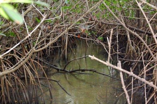 Environmental Learning Center: mangroves