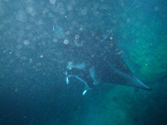 Fair Wind Big Island Ocean Guides : Awesome Manta Rays!