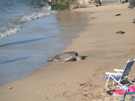 Hale Kai Oceanfront Condominiums: a turtle chilling on beach right by our condo