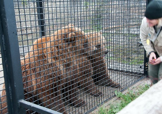 Riverland Inn & Suites: Knute & Dawson, Grizzly bears BC Wildlife Park Kamloops Canada