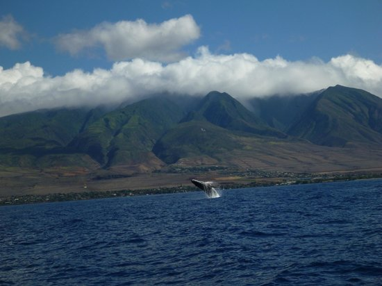 Pacific Whale Foundation: Whale watching north of Lahaina town.
