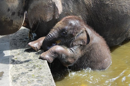 Elephant Safari Park & Lodge: Fajar swimming with his Mum.