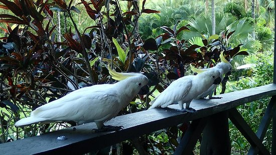 Palm Bungalows : Cockatoos on the terrace