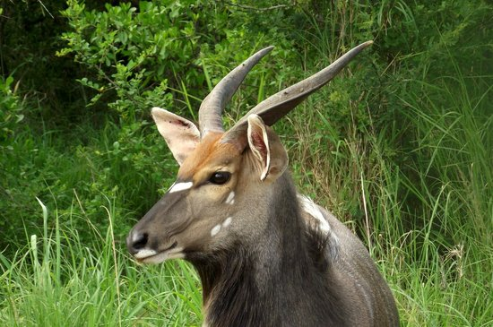 Country and Coastal Touring: Nyala Buck at Hluhluwe Imfolozi Game Reserve
