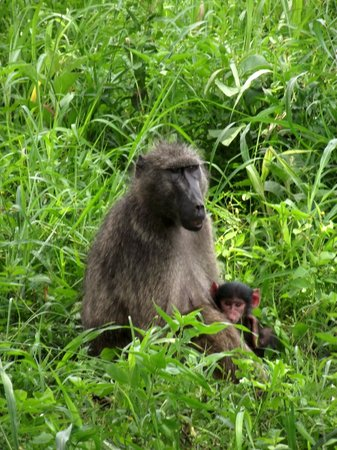 Country and Coastal Touring - Day Tours: Chacma Baboon at Hluhluwe Imfolozi Game Reserve