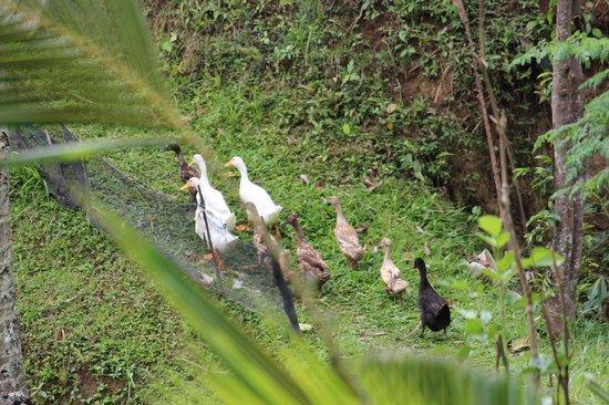 Villa Orchid Bali: Ducks in the rice fields
