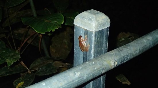 Daintree Wilderness Lodge : A small frog outside our cabin