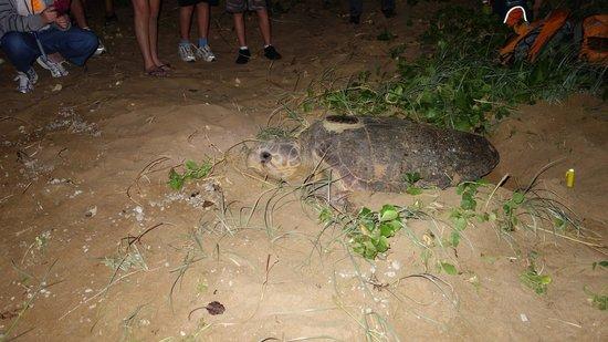 Mon Repos: Mother Turtle