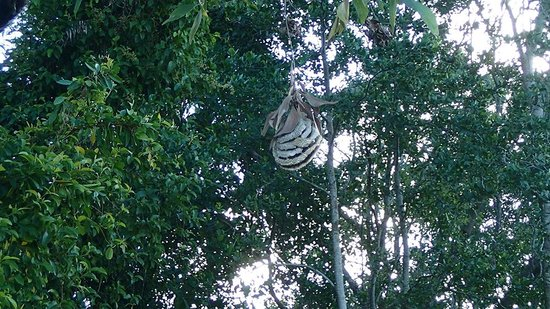 Dan Irby's Mangrove Adventures: Wasp nest