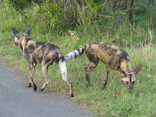 EuroZulu Guided Tours & Safaris: Wilddogs at Hluhluwe