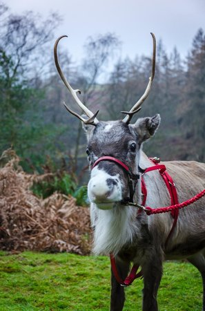 Gilpin Hotel & Lake House: Reindeer on Boxing Day