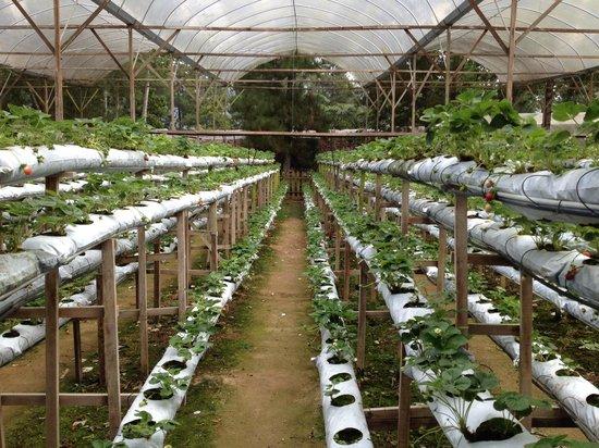 Awana Hotel: Strawberry farm
