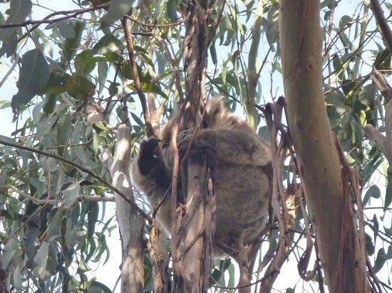Western KI Caravan Park and Wildlife Reserve : Koala in a tree 2