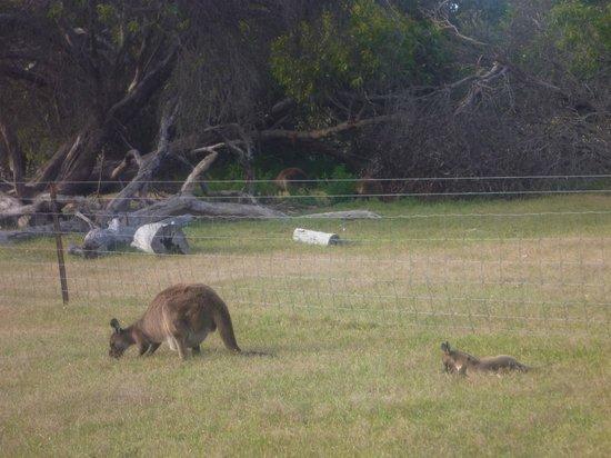 Western KI Caravan Park and Wildlife Reserve : Kangaroos