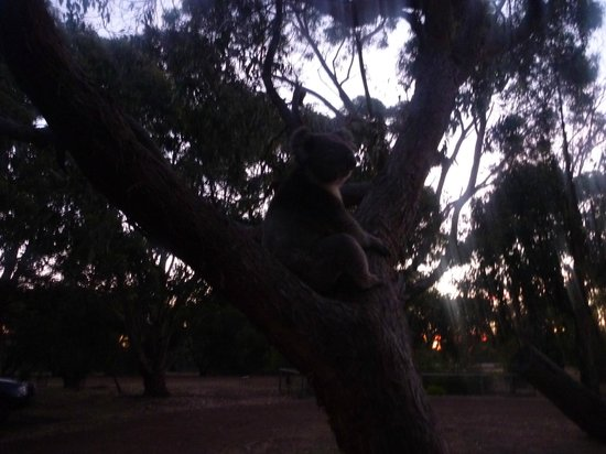 Western KI Caravan Park and Wildlife Reserve: Koala in a tree
