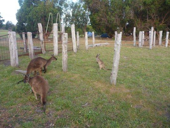 Western KI Caravan Park and Wildlife Reserve: Kangaroos