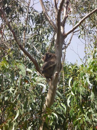 Western KI Caravan Park and Wildlife Reserve: another koala in a tree