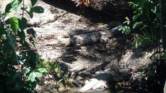 Wildlife Habitat Port Douglas: Crocs