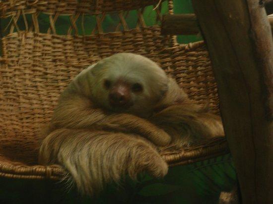 Sloth Sanctuary of Costa Rica: Super cute sloth