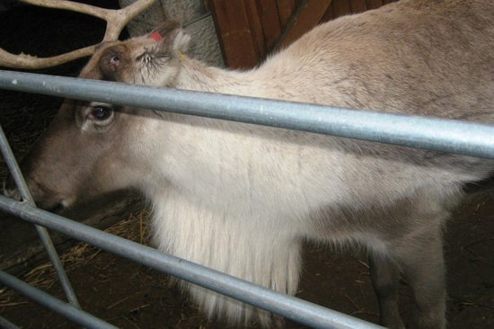 Old Holly Farm: Reindeer