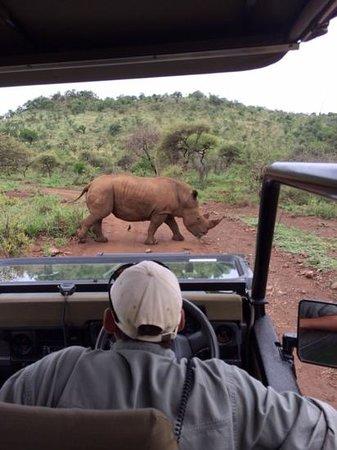 Tambuti Lodge: rhino crossing in front of us.