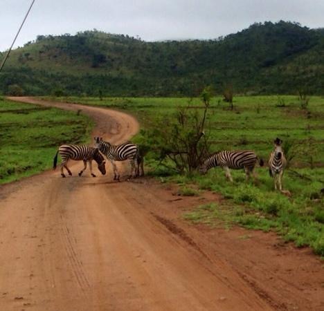 Tambuti Lodge : zebra crossing