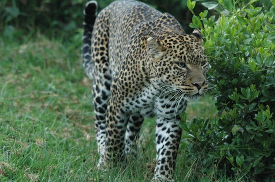 Treetops Lodge: Leopard, Aberdare National Park