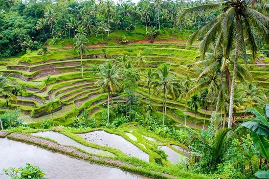 Tegalalang Rice Terrace : Unparalleled beauty!
