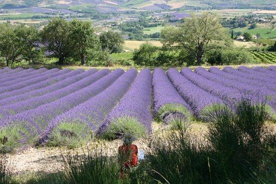 La Roseraie-Drôme : Champs de lavande