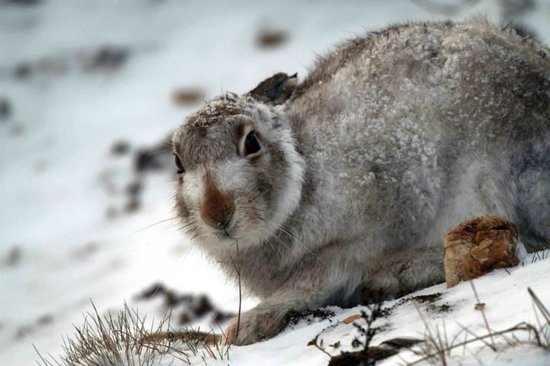 Highland Safaris: Mountain hare