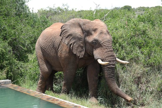 Kwandwe Ecca Lodge: Elephant visiting the pool!!