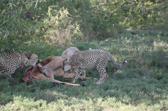 Kwandwe Ecca Lodge: Cheetah and cubs eating