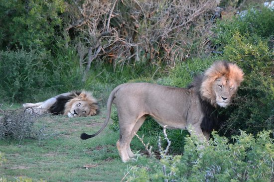 Kwandwe Ecca Lodge: Who will take control of the pride?