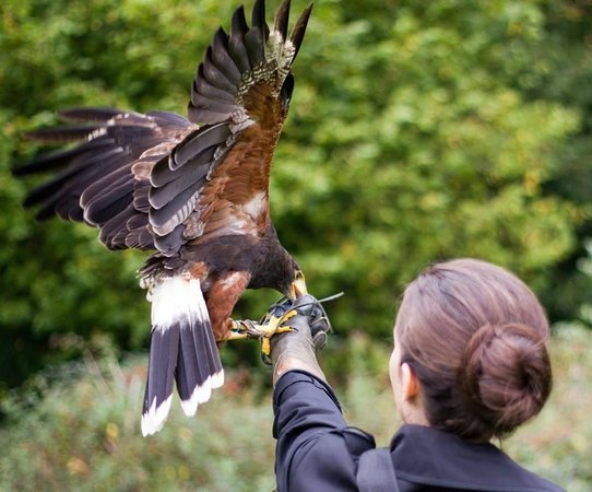 West of England Falconry: Charlie