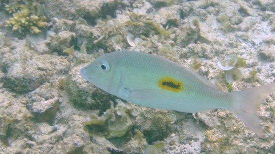 InterContinental Mauritius Resort Balaclava Fort : Snorkeling at hotel beach