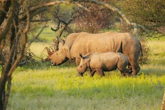 Mongena Game Lodge: Rhino sighting