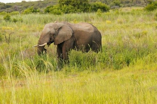 Mongena Game Lodge: Elephant sighting